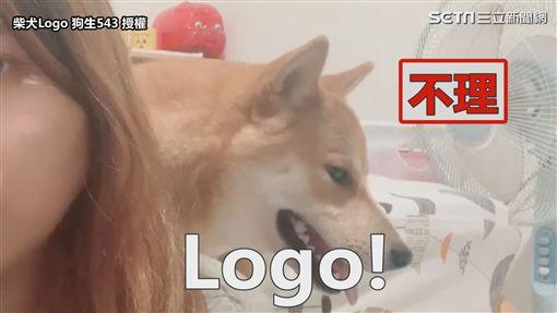 ▲主人一開始叫Logo,都不理人。(圖/柴犬Logo 狗生543 授權)