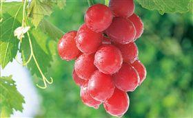 金澤,石川,葡萄,浪漫紅寶石。(圖/翻攝自推特)