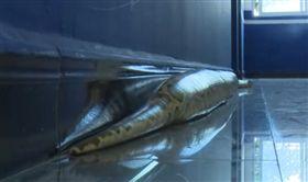 阿嬤養的?男買60公分小蛇…4年後成「巨蟒」嚇壞求救(圖/翻攝自微博)