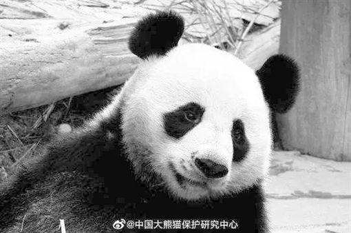 貓熊創創(圖/翻攝自中国大熊猫保护研究中心微博)