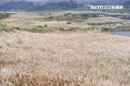 初秋,台南,甜根子草,十月雪,網美,花海,IG,台南市觀光旅遊局提供