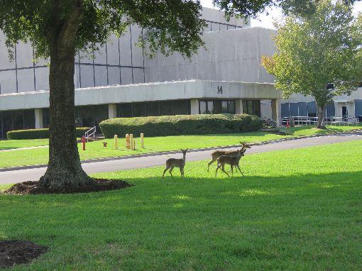 休士頓太空中心目睹太空梭 還可見小鹿奔跑休士頓太空中心除可親眼目睹實體太空梭外,還可見到小鹿奔跑,休士頓旅遊局表示,因太空中心所在地原本是牧場。中央社記者汪淑芬攝 108年10月11日