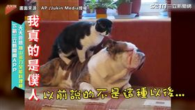 ▲這隻貓咪就像僕人一樣一直出勞力。(圖/AP /Jukin Media授權)