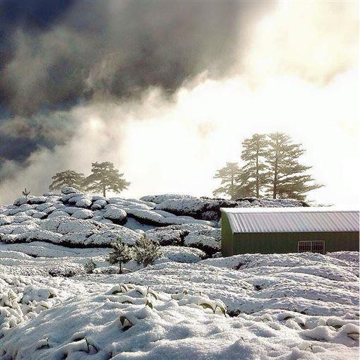 松露茶園提供 雪烏龍