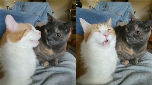 影/度估到一半…橘白貓突抽動嚇壞同伴 網笑:上數學課嗎(翻攝自抖音khick666)