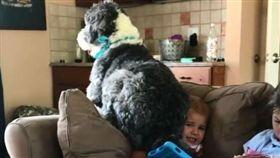 (把拔救我!「大卡稱」綿羊狗硬坐頭 萌弟崩潰被當人肉坐墊) 寵物,綿羊狗,屁股,男孩 (圖/翻攝自rory_the_sheepadoodle IG) https://www.instagram.com/rory_the_sheepadoodle/p/Bjx1uxcjNqS/