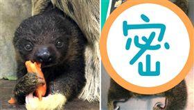 樹懶寶寶照X光!「一秒攤平」萌樣曝  台北市立動物園
