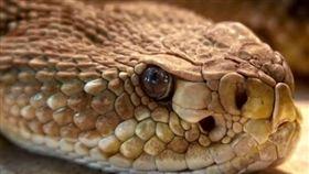 蛇,毒蛇(圖/翻攝自微博)