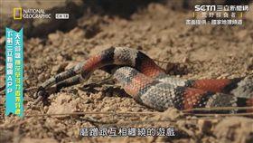 蛇信之下找到你! 超害羞直擊雙蛇交纏啪啪啪