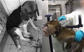 LPT實驗室殘忍虐待動物(圖/翻攝自推特)
