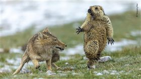 土撥鼠躲避狐狸驚險瞬間 照片奪野生動物攝影獎(圖/翻攝自NATURAL HISTORY MUSEUM官網)