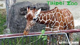 台北市立動物園的長頸鹿寶寶「麥照」