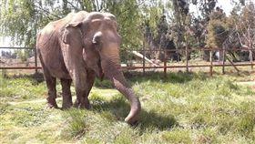 數十年來在南美洲馬戲團表演的亞洲象蘭巴從智利動物園搭乘飛機及卡車,在巴西露天保護區展開新生活。(圖取自facebook.com/globalsanctuaryforelephants)