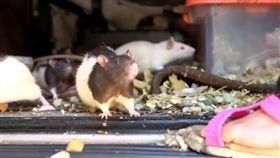 寵物,倉鼠,繁殖,崩潰,啪啪,亂倫,貨車,美國,聖地亞哥,交配 圖/ 翻攝自YouTube