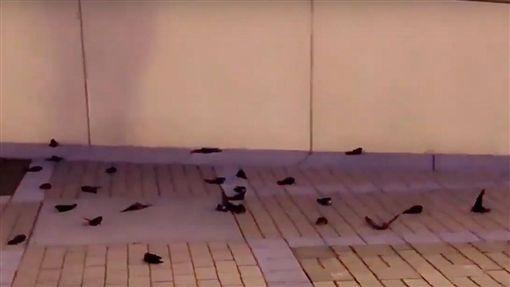 煙囪雨燕,美國,撞牆,北卡羅萊納州(圖/翻攝自卡羅萊納水禽救援中心IG)