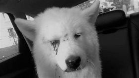 中國吉林市日前發生一起虐狗案,只因寵物薩摩耶犬在家隨地大小便,遂遭主人爆打成傷,眼角血跡斑斑,讓人看了相當心疼,愛狗的鄰居見狀,趕緊將狗狗送醫治療。據悉,事後主人想要回狗,遭正義營救的鄰居強烈拒絕,認為狗狗如果再回到主人身邊很難確保牠的生命安全。(圖/翻攝自吉林微資訊微博)