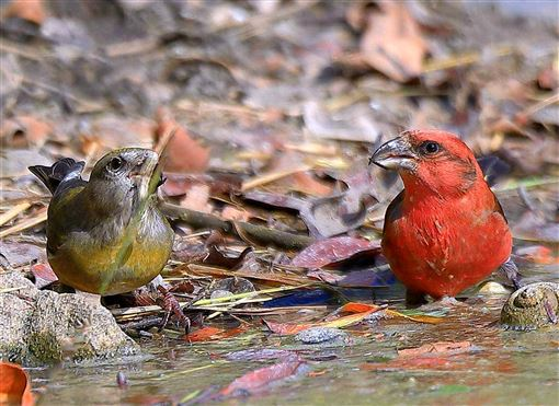 澎湖,黑冠鵑隼,過境棲息,紅交嘴雀,賞鳥(圖/中央社)