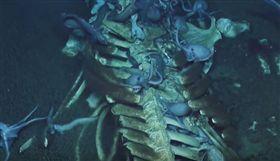 深海,鯨魚,章魚,鯨落,美國,加州。(圖/翻攝自YOUTUBE)