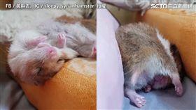 黃金鼠睡到ㄎㄧㄤ掉整團滾落 倒頭栽睡姿萌翻網友