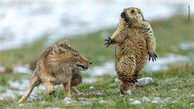 (圖/翻攝自野性中國微博)狐狸,藏狐,土撥鼠,照片