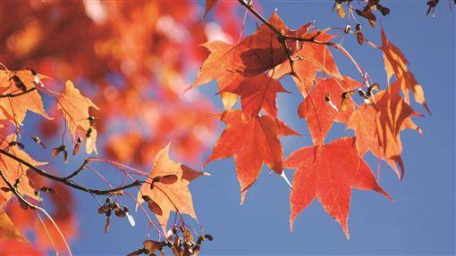 阿里山楓紅了(1)林務局嘉義林區管理處表示,阿里山國家森林遊樂區的青楓、紅榨槭等變色葉植物,已開始慢慢由黃變紅,換上黃、綠、橘、紅等繽紛的新裝,園區逐漸進入賞楓期。(林管處提供)中央社記者蔡智明傳真  108年10月29日