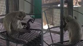 猴子,南非,母猴,小孩,屍體 https://www.youtube.com/watch?time_continue=11&v=mxkR-9-UzLU