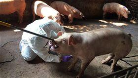 非洲豬瘟,蔓延,世界動物衛生組織,無一國家,倖免(圖/中央社)
