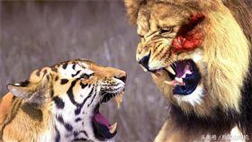 獅子 老虎1