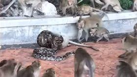 泰國猴子遭蟒蛇絞死/youtube