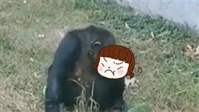 黑猩猩,大陸,安徽,合肥,越獄,飛踢,無影腳,抽煙,遊客,素質,門票,工作人員,動物,寵物 圖/翻攝自YouTube