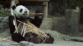 熊貓,動物園,工讀生,演員(翻攝自Pixabay)