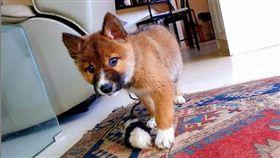 澳洲維多利亞州一名女子於今年8月時,在住家後院意外發現一隻動物,起初以為是狗或狐狸,沒想到DNA檢測結果出爐,眼前這隻可愛的小動物竟為澳洲特有種「野犬」(dingo)。(圖/wandi_dingo授權提供)