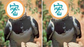驚見巨鵰!「巴拿馬國鳥」竟比人還高  角鵰,哈比鷹