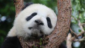 -熊貓-貓熊-(圖/pixabay)