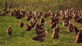 真的進來一堆雞!他45元買1隻雞…得標後秒變1000隻(圖/翻攝自pixabay)