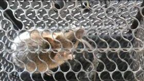 老鼠,捕鼠籠,放生,報恩(翻攝自Dcard)