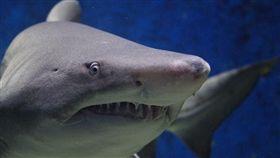 -鯊魚-圖/翻攝自Pixabay