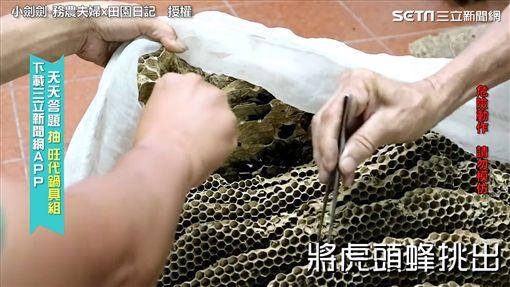 農家父子聯手處理巨型虎頭蜂窩 生吞蜂蛹行徑驚呆網