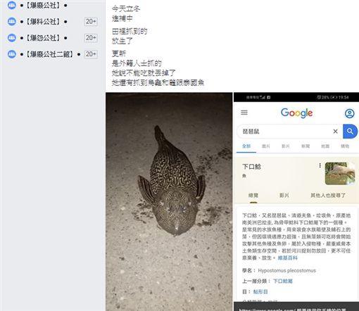 琵琶鼠,垃圾魚,外來種,放生,爆廢公社 圖/翻攝自臉書爆廢公社