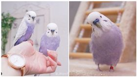 「芋香鮮奶」鸚鵡,虎皮鸚鵡,翻攝自IG:_akipooh_