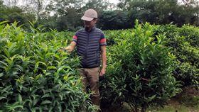 台灣原生種山茶沉睡千年問市(2)農委會茶業改良場日前發表新的茶葉品種「台茶24號」,今年6月正式通過命名為「台東永康1號」,台東分場9日指出,泰平山區的原生茶樹約300棵,屬於冰河時期經過大自然篩選遺留下來植物,因此被譽為茶界的「櫻花鉤吻鮭」。中央社記者盧太城台東攝 108年11月9日