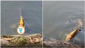 雲南,黃金錦鯉,怪魚,人面魚,人臉(圖/翻攝自有料視頻)