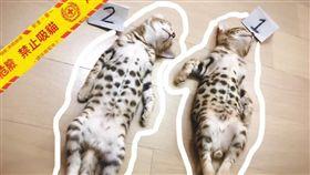 玩到沒電變命案現場? 2幼貓翻肚在地 網笑翻:殉情了啦