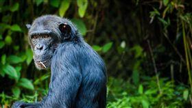 黑猩猩(示意圖/翻攝自Pixabay)
