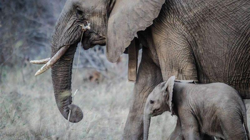 120頭大象死於乾旱 辛巴威將遷移大批野生動物