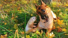寵物,狼犬,雪貂,玩伴,友誼,跨物種(圖/翻攝自@nova_n_pacco IG)