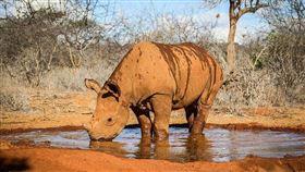 寵物,犀牛,動物救援,撒嬌,肯亞(圖/翻攝自Sheldrick Wildlife Trust FB)