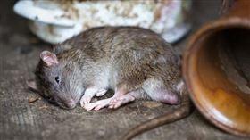 網傳北京新增鼠疫病例。(圖/翻攝自PIXABAY)