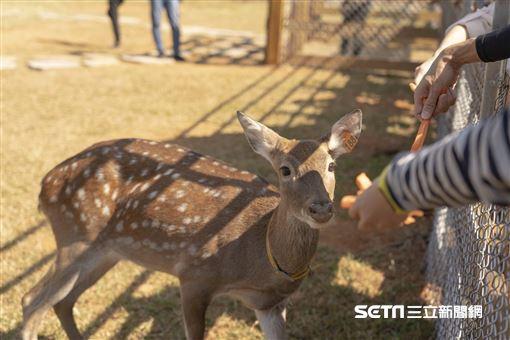 埔心牧場飼養員化身奶爸 用奶瓶餵養梅花鹿長大
