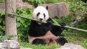 貓熊「貝貝」在美國華府出生,在美國華府踏出第一步,如今4歲的牠即將踏上回家旅程,前往中國。(圖取自史密森尼國家動物園官網nationalzoo.si.edu)